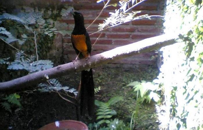 Burung Murai Batu Nias
