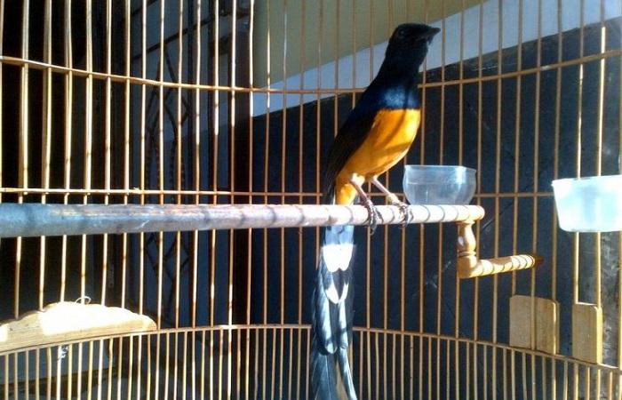 Burung Murai Batu Thailand