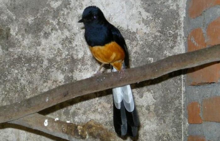 Foto Burung Murai Batu Jawa atau Larwo