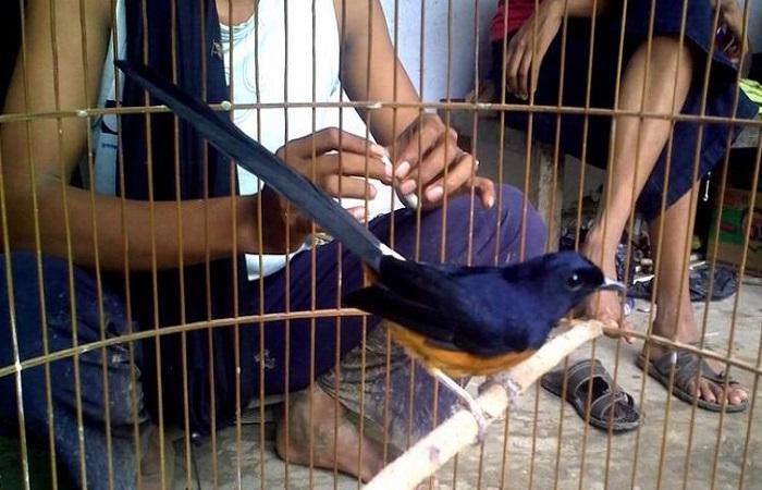 Foto Burung Murai Batu Lahat